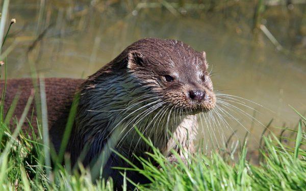 Dode otter gevonden in Zegveld