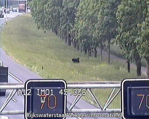 Koe graast er op los langs A12
