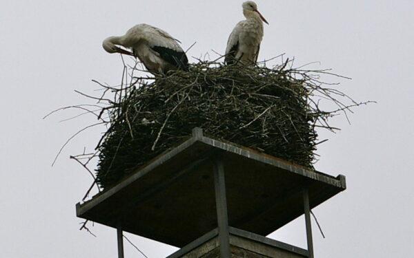 'Stiekem' nest gewisseld voor ooievaarspaar Oudewater